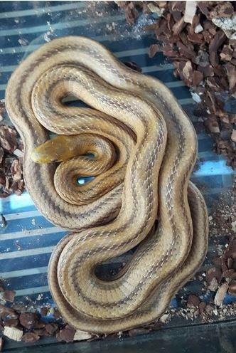 Five Foot Snake Found inDublin